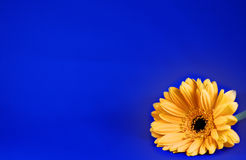 Daisy op blauw royalty-vrije stock foto's