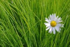 Daisy op de groene grasachtergrond Royalty-vrije Stock Afbeeldingen