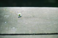 Daisy op een donkere houten oppervlakte Stock Fotografie