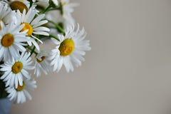 Daisy op een lichte achtergrond Royalty-vrije Stock Afbeeldingen