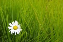 Daisy op het groene gras Royalty-vrije Stock Afbeeldingen
