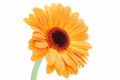 Daisy orange royalty free stock images