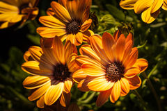 Osteospermum orange in group Royalty Free Stock Photos