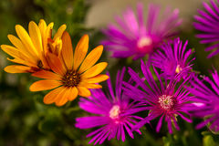 Osteospermum orange with delosperma violet Stock Photo