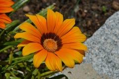 Daisy orange Stock Images
