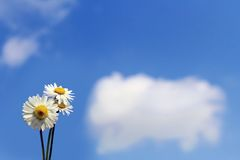 Daisy over sky Royalty Free Stock Images