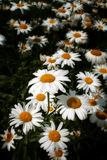 Daisy oxeye. White daisy or oxeye, Chrysanthemum leucanthemum flower heads with a yellow center and white rays Stock Photography