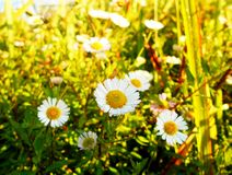 Daisy oxeye on a sunny morning. In mountain stock images