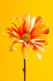 daisy płótna zdjęcia stock