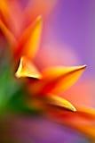 Daisy Palette. Macro abstract of cape daisy flower Royalty Free Stock Photos