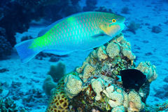 Daisy parrotfish Royalty Free Stock Photos