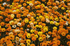 Daisy patch Royalty Free Stock Image