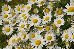 Wild Daisy Patch Stock Photos
