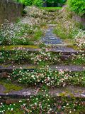 Daisy Path. Daisies growing over an old path stock images