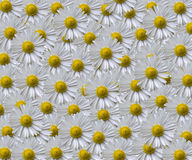 Daisy Pattern. White yellow flower pattern, wallpaper Royalty Free Stock Photo