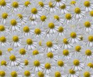 Daisy Pattern Royalty Free Stock Photo