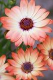 Daisy Peach Cream Royalty Free Stock Photos