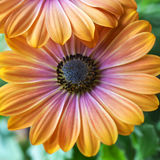 Daisy Peach Yellow und malvenfarbenes Rosa Stockbilder