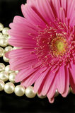 Daisy and Pearls. Beautiful pink gerber daisy with a strand of pearls Stock Image