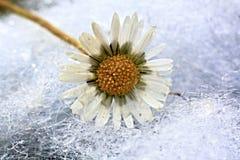 Daisy (perennis Bellis) Στοκ Φωτογραφίες