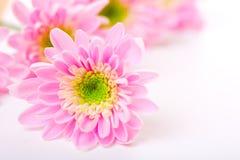 daisy petails różowy Zdjęcia Royalty Free