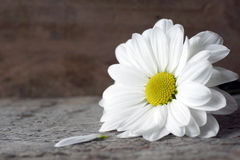 Daisy with petal on wood Stock Images