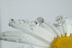 Daisy Petals. Flower with dew drops Stock Photos