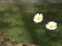 Daisy. In the photo are two daisies. They grow from cracks in the rocks. In the background is the river Walchen Sylvenstein lake Stock Photos
