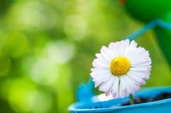 daisy piękny kwiat Obrazy Royalty Free