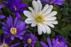 daisy pierwszy wiosenny Obrazy Stock