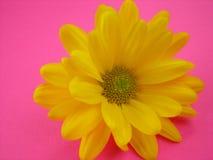 Daisy on Pink Stock Photos