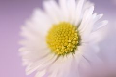 Daisy on pink. Background stock photo