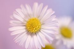 Daisy on pink. Background stock image