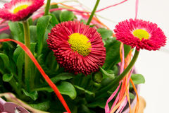 Daisy. Pink daisy decorated with bast Royalty Free Stock Photos