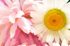Daisy and pink flowers Stock Images