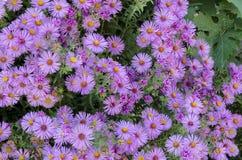 Daisy pink flowers in garden, Razgrad Stock Photo
