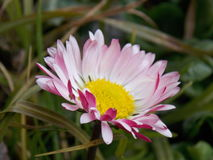Daisy. Pink focused daisy Stock Images