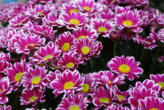 Daisy. Pink garden daisys,beautiful autumn flowers stock photography
