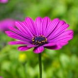 Daisy Pink Purple  Royalty Free Stock Photo