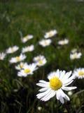 daisy pionowe Obrazy Royalty Free