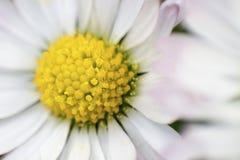 Daisy pistil. Macro shot of daisy pistil royalty free stock photography