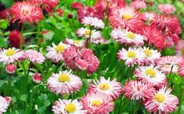 Daisy plant Stock Photo