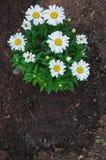 Daisy Plant Royalty Free Stock Image
