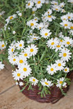 Daisy plant in flowershop. Daisy or asteraceae plant in flower shop decoration Stock Photo