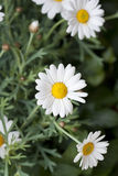 Daisy plant in flowershop in detail. Daisy or asteraceae plant in flower shop decoration Royalty Free Stock Images