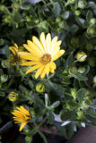 Daisy plant in flowershop in detail. Daisy or asteraceae plant in flower shop decoration Royalty Free Stock Photography
