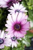 Daisy plant in flowershop in detail. Daisy or asteraceae plant in flower shop decoration Stock Images