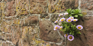 A Daisy Plant Growing in a Stone Wall Stock Images