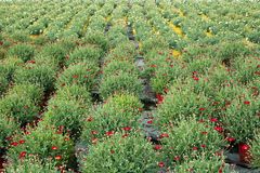 Daisy plant nursery. Large plant nursery of blooming red marguerite daisies in plastic pots, in rows Stock Photos