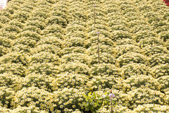 Daisy plant nursery Stock Images